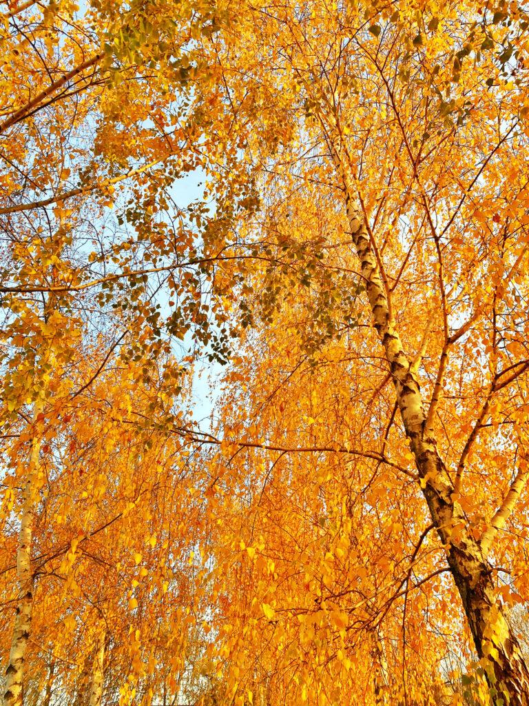záplava zlatého listí v březové mini aleji v Jesenici u Prahy, fotka ze série podzimní fotografie z Jesenice